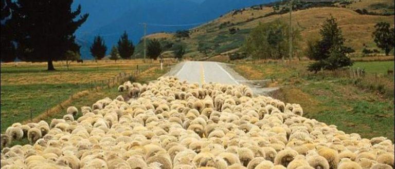 Article : Bande de moutons